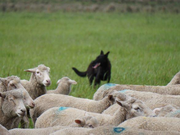 imagen perro ovejero fororural 586x440 Pagina de Inicio