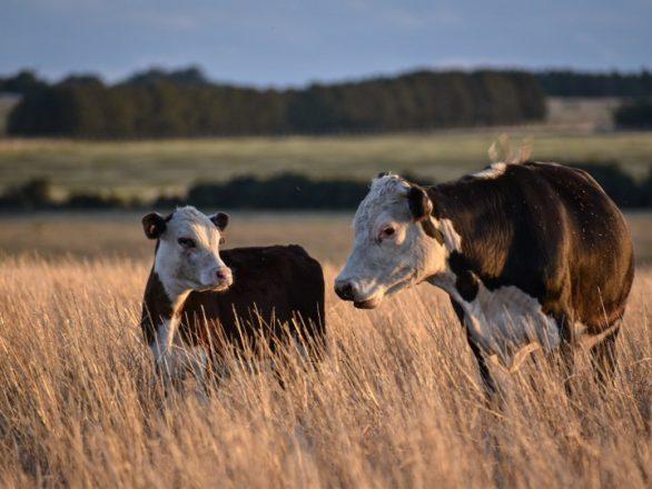 imagen Ternero grande y vaca en otono Ariana IG 586x440 Pagina de Inicio
